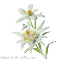 Edelweiss Natural Plant Extract with Vitamin C Hydration Younger Looking Skin