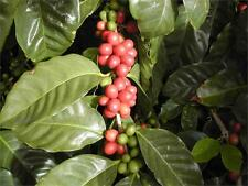 Coffea Plant Seeds - MEXICAN COFFEE BEAN - Mellow Flavour - GMO FREE - 25+ Seeds