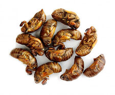 Edible Dehydrated Canned Cicadas (Hemiptera) Exotic Insects Bugs Thai Food
