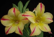 5 graines Adenium Silk of Yellow DESERT ROSE CAUDEX SEED SEMILLA SAMEN SEMI