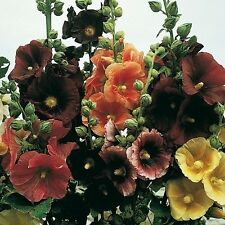 50+ Alcea Rosea Hollyhock Mix Flower Seeds / Perennial