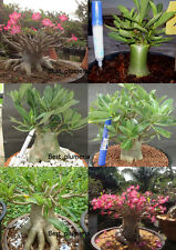 "ADENIUM ARABICUM DESERT ROSE ""MIXED 4 TYPES"" 122 SEEDS"