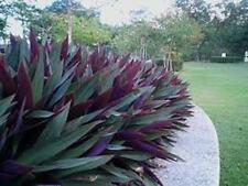 Rhoeo spathacea vittata groundcover shade plant in 125mm pot