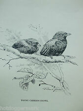 ANTIQUE PRINT DATED 1923 BIRDS & THEIR YOUNG CARRION-CROWS BY ROLAND GREEN