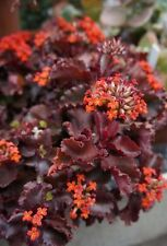 "KALANCHOE ""RED KRINKLE"" ** BEAUTIFUL CULTIVAR**  / CACTUS SUCCULENT"
