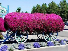 TRAILING PETUNIA VIOLET BALCONY FLOWER - Petunia violaceae - 1000 seeds