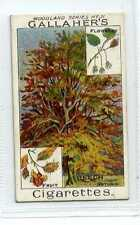 (Jc1827-100)  GALLAHERS,WOODLAND TREES,THE BEECH TREE,1912#31