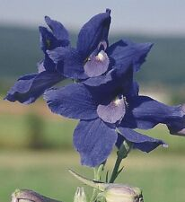 Delphinium - Summer Nights - 20 Seeds