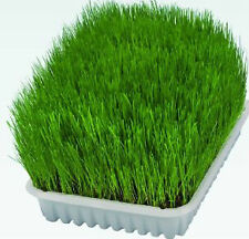 CAT GRASS - WHEAT GRASS - Triticum Aestivum Seed 400 Seeds