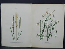 Canadian Farm Weeds c.1910 TWO PRINTS S1#08 Couch, Wild Oats