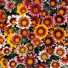 GAZANIA SPLENDENS MIX 25 FRESH FLOWER SEEDS FREE USA SHIPPING
