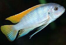 Maylandia greshakei ** Malawi Cichlid **  4-5cm ** Ice blue cichlid