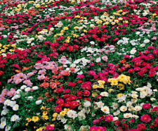 "50+ ANNUAL GROUNDCOVER FLOWER GARDEN SEEDS - ROSE MOSS - ""FARM MIX"" LOW GROWING!"