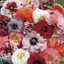 Poppy Angel's Choir Seeds - Stunning mix, all the colours and shapes