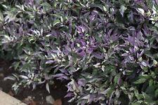 Pepper-Calico Ornamental/Edible Calico Pepper-25 Seeds