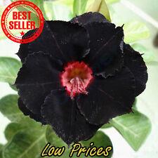 Rare Black Desert Rose Seeds Ornamental Plants Balcony Adenium Obesum 100% 2 pcs