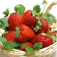 100 Climbing Strawberry Tree Seeds Red Organic Herb Delicious Fruit Plant Seeds