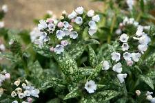 1 pulmonaria opal blanc printemps précoce des fleurs pour les abeilles; perpétuel fleurs