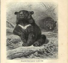 Stampa antica ORSO DAL COLLARE o ORSO TIBETANO BEAR 1891 Old antique print