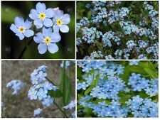 BLUE FORGET ME NOTS 50  SEEDS + UNLIMITED SEED PACKS FLAT RATE S/H OF $1.99