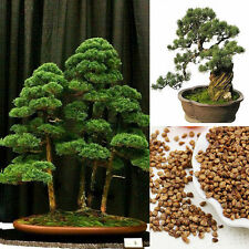 20pcs Japanese White Pine Pinus Seeds Parviflora Green Plants Tree Bonsai Seeds