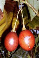 Super-ertragreiche Pflanze, der exotische TOMATENBAUM