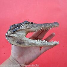 Single 4 to 5 inch Alligator head from a 3 foot gator skull real taxidermy (S)
