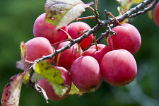 4 Seeds of American Red Plum Tree
