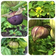 Tomatillo purple Physalis ixocarpa lilafarbene Früchte für Salsa und Chutneys