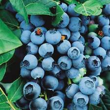 5 BLUE CROP Blueberry Bushes / Northern Highbush / 2-year Bush / 24-36""