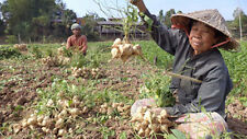25 SEEDS MEXICAN SWEET POTATO SEEDS JICAMA YAM BEAN ORGANIC+Shipping
