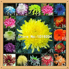 100 PC colorful chrysanthemum seeds,colorful flower seeds, beautiful