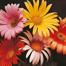 African Daisy Harlequin Mix Seeds Five Colours Drought Tolerant Annual Re-seeds