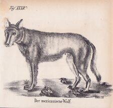 Mexikanische Wolf Canis lupus baileyi El lobo LITHOGRAPHIE von 1831 Brüggemann