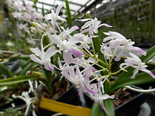 BIN Neostylis Lou Sneary- blue color!  Hard to find! Easy! FRAGRANT!