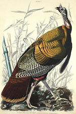 Audubon Reproductions: Birds of America: Wild Turkey - Fine Art Print