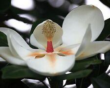 Großblütige Magnolie •8 Samen/seeds • Magnolia grandiflora • Duft • winterhart