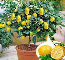 20Pcs Rare Lemon Tree Indoor Outdoor Available Heirloom Fruit Seeds Love Garden