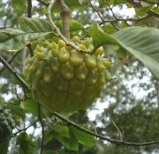 Annona edulis Ecuador Variety Imported Tropical 5 Seeds Pkt.