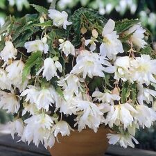 New Pack 3 Bulbs/Tubers Begonia Pendula White Flowering W.P.C. Prins Bulbs