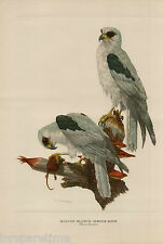 VINTAGE HALCON BLANCO-WHITE KITE BIRD ART PRINT LITHOGRAPH BY AXEL AMUCHASTEGUI