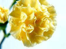 300 Samen'Nelke Gelb Gewöhnlich/ - Floristen / Goldlack