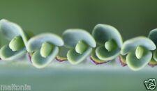 5 Cappello Messicano Madre migliaia Kalanchoe SPINA DORSALE DEL DIAVOLO piante succulente cactus