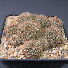 Sulcorebutia caniqueralii WR 599, 8,0 cm große Altpflanze (6019)