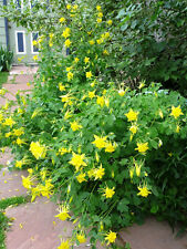 "COLUMBINE ~Yellow~ Aquilegia Chrysantha"" ~Blooming early Spring~  20+ Seeds"