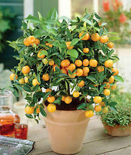 100 SEMI DI ORANGE BONSAI ALBERO AGRUMI MANDARINO