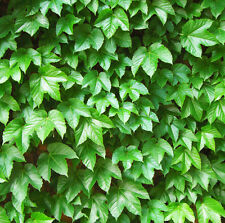 Japan Creeper Seeds 40 Seeds Parthenocissus Tricuspidata Boston Ivy Foliage F008