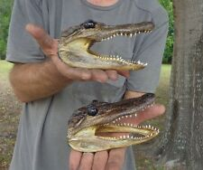 2 piece lot of 5-6 inch Real Alligator heads from 3 foot gator skulls (S)