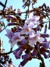 Paulownia tomentosa, Blauglockenbaum, 160cm