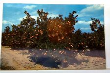 BEAUTIFUL ORANGE GROVES IN CENTRAL FLORIDA, POSTED 1964 PC